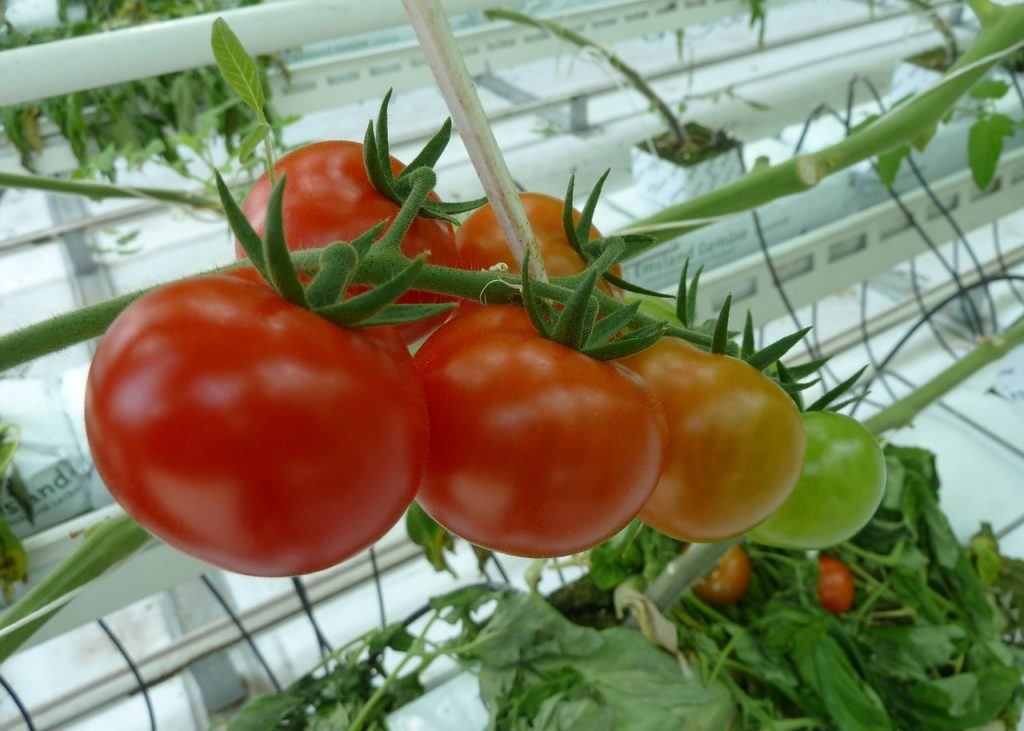 pomidory w szklarni